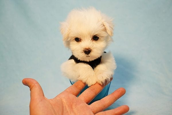 Mr. Incredible - Tiny Teacup Maltese Puppy Found His Good Loving Home With Vivian K. In Westlake Village CA,91362-24189