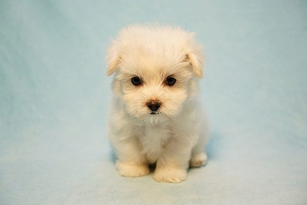 Mr. Incredible - Tiny Teacup Maltese Puppy Found His Good Loving Home With Vivian K. In Westlake Village CA,91362-24176