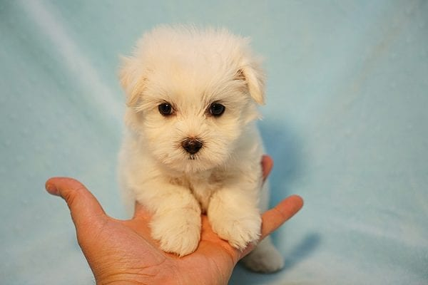Mr. Incredible - Tiny Teacup Maltese Puppy Found His Good Loving Home With Vivian K. In Westlake Village CA,91362-24177