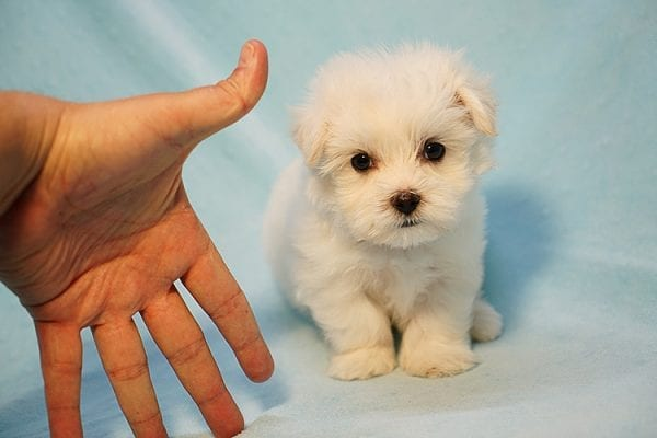 Mr. Incredible - Tiny Teacup Maltese Puppy Found His Good Loving Home With Vivian K. In Westlake Village CA,91362-24182