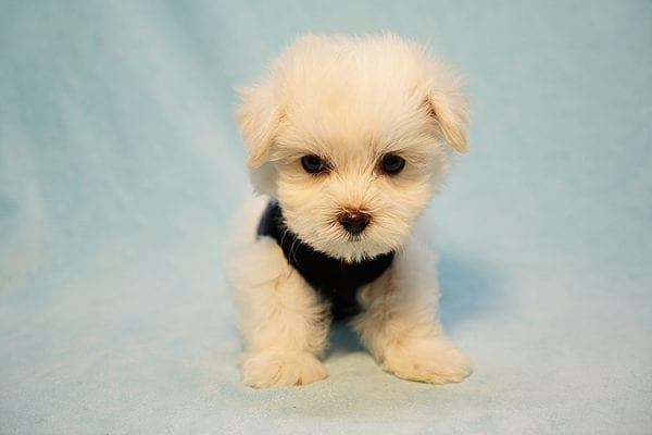 Mr. Incredible - Tiny Teacup Maltese Puppy Found His Good Loving Home With Vivian K. In Westlake Village CA,91362-24179
