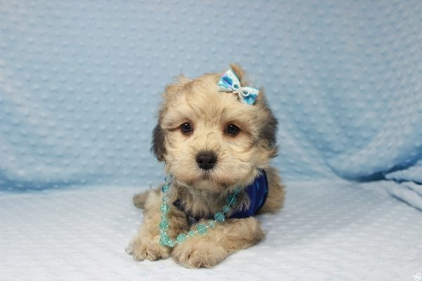 Mufasa - Toy Malshih Puppy has found a good loving home with Sara from Las Vegas, NV 89110-23668