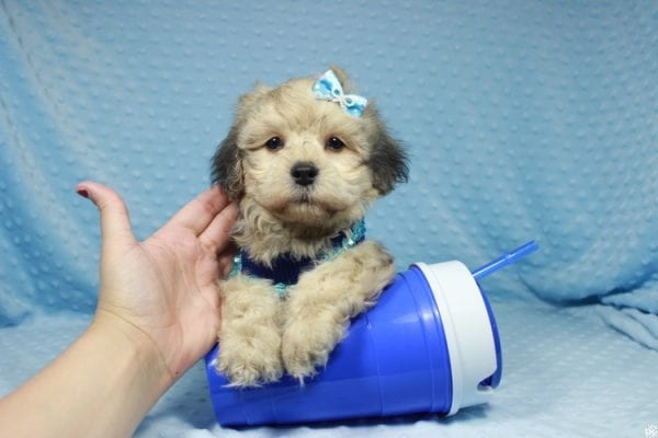 Mufasa - Toy Malshih Puppy has found a good loving home with Sara from Las Vegas, NV 89110-23670