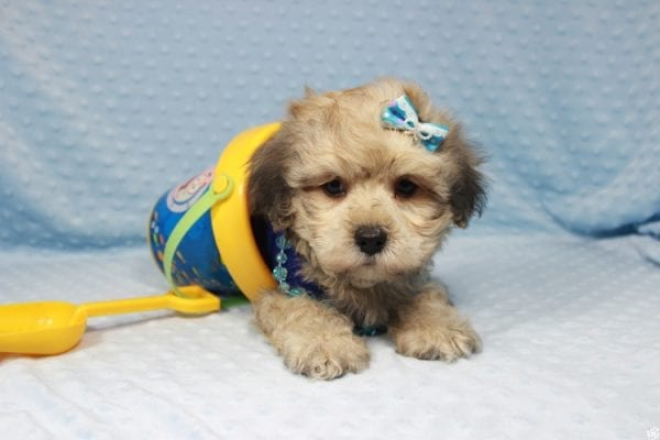 Mufasa - Toy Malshih Puppy has found a good loving home with Sara from Las Vegas, NV 89110-0