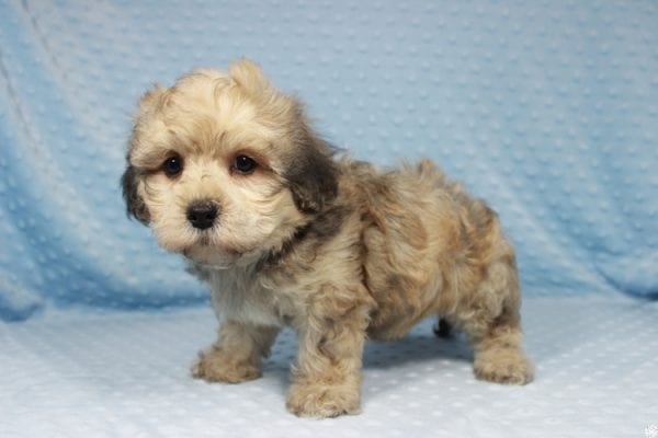 Mufasa - Toy Malshih Puppy has found a good loving home with Sara from Las Vegas, NV 89110-23673