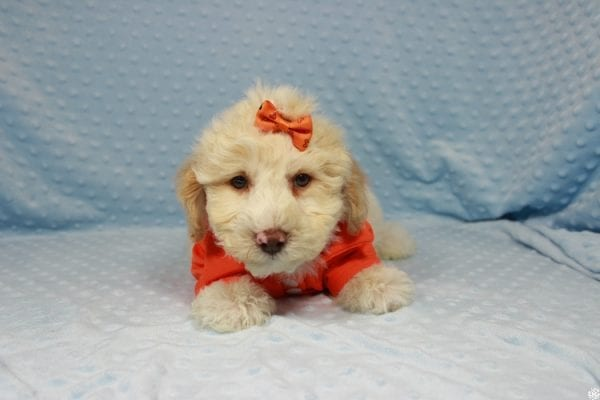 Nickelodeon - Toy Maltipoo Puppy has found a good loving home with Mariyah from Las Vegas, NV 89147-23704
