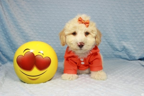 Nickelodeon - Toy Maltipoo Puppy has found a good loving home with Mariyah from Las Vegas, NV 89147-0