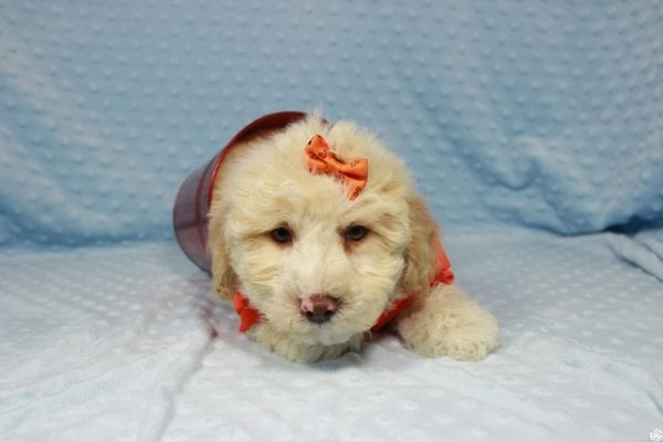 Nickelodeon - Toy Maltipoo Puppy has found a good loving home with Mariyah from Las Vegas, NV 89147-23709