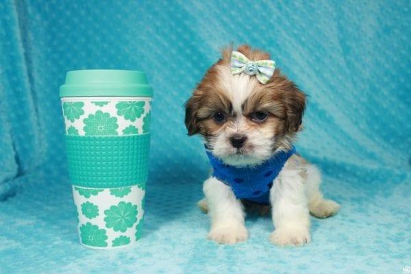 Paddington - Toy ShihTzu puppy has found a good loving home with Stephanie from Las Vegas, NV 89183-24107