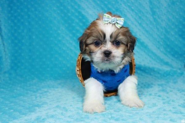 Paddington - Toy ShihTzu puppy has found a good loving home with Stephanie from Las Vegas, NV 89183-24105