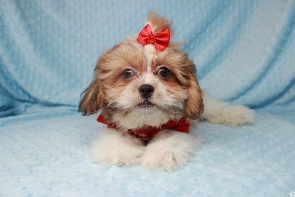 Paddington - Toy ShihTzu puppy has found a good loving home with Stephanie from Las Vegas, NV 89183-25134