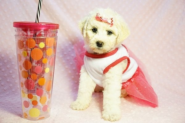 Pink - Toy Maltipoo Puppy Found Her new Loving Home with Sttela from N Hollywood 91606-23821