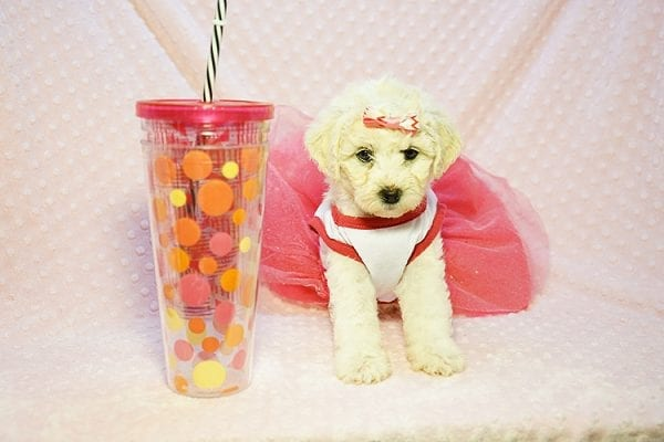 Pink - Toy Maltipoo Puppy Found Her new Loving Home with Sttela from N Hollywood 91606-23818