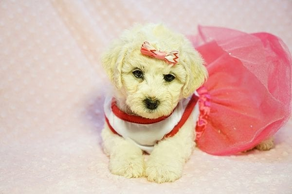 Pink - Toy Maltipoo Puppy Found Her new Loving Home with Sttela from N Hollywood 91606-23819