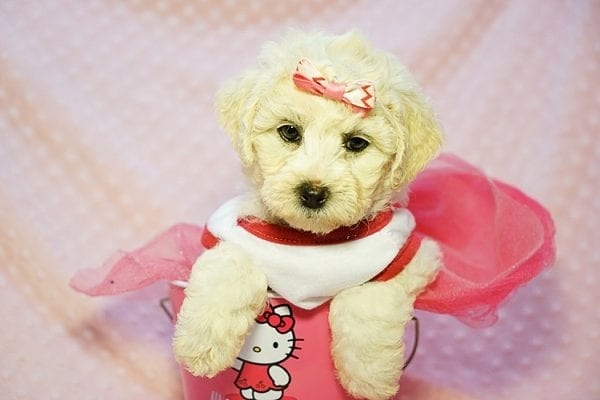 Pink - Toy Maltipoo Puppy Found Her new Loving Home with Sttela from N Hollywood 91606-0