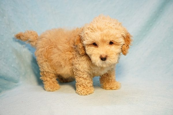 Prince Harry - Toy Maltipoo Puppy Found His Good Loving Home With Julia E. In Hawthorne CA, 90251-24206