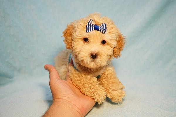 Prince Harry - Toy Maltipoo Puppy Found His Good Loving Home With Julia E. In Hawthorne CA, 90251-0