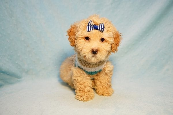 Prince Harry - Toy Maltipoo Puppy Found His Good Loving Home With Julia E. In Hawthorne CA, 90251-24209