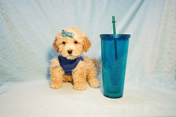 Prince William - Toy Maltipoo Puppy has found a good loving home with Andrew from Upland, CA 91784-0