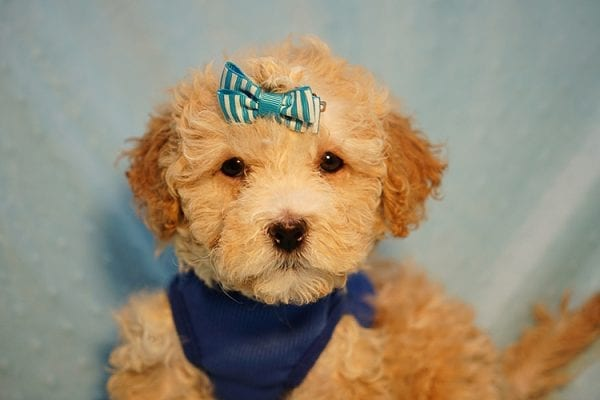 Prince William - Toy Maltipoo Puppy has found a good loving home with Andrew from Upland, CA 91784-24205