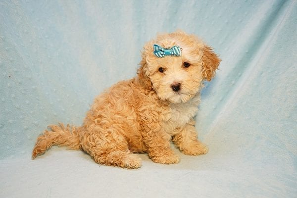 Prince William - Toy Maltipoo Puppy has found a good loving home with Andrew from Upland, CA 91784-24204