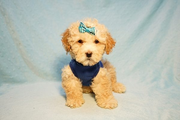 Prince William - Toy Maltipoo Puppy has found a good loving home with Andrew from Upland, CA 91784-24198