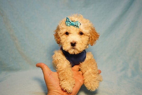 Prince William - Toy Maltipoo Puppy has found a good loving home with Andrew from Upland, CA 91784-24199