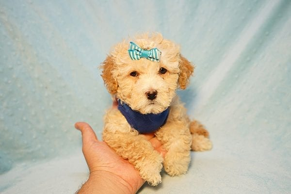 Prince William - Toy Maltipoo Puppy has found a good loving home with Andrew from Upland, CA 91784-24197