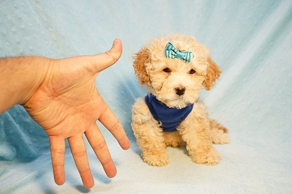 Prince William - Toy Maltipoo Puppy has found a good loving home with Andrew from Upland, CA 91784-24202