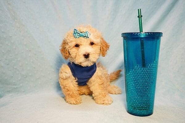 Prince William - Toy Maltipoo Puppy has found a good loving home with Andrew from Upland, CA 91784-24200