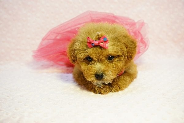 Shirley Temple - Teacup Poodle Puppy Found Her Good Loving Home With Shaghayegh H. In Irvine CA, 92604-23998