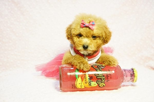 Shirley Temple - Teacup Poodle Puppy Found Her Good Loving Home With Shaghayegh H. In Irvine CA, 92604-23999