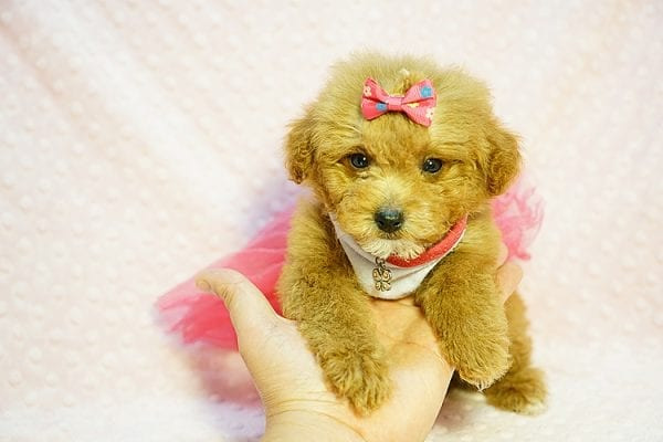 Shirley Temple - Teacup Poodle Puppy Found Her Good Loving Home With Shaghayegh H. In Irvine CA, 92604-23994