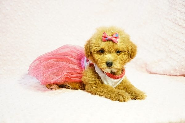 Shirley Temple - Teacup Poodle Puppy Found Her Good Loving Home With Shaghayegh H. In Irvine CA, 92604-24003