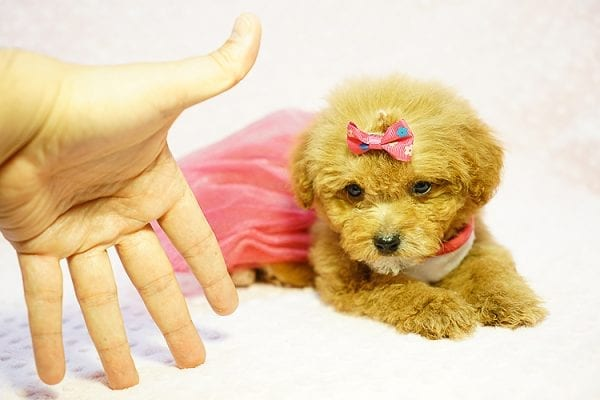 Shirley Temple - Teacup Poodle Puppy Found Her Good Loving Home With Shaghayegh H. In Irvine CA, 92604-24002