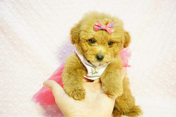 Shirley Temple - Teacup Poodle Puppy Found Her Good Loving Home With Shaghayegh H. In Irvine CA, 92604-23993