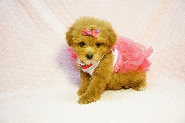 Shirley Temple - Teacup Poodle Puppy Found Her Good Loving Home With Shaghayegh H. In Irvine CA, 92604-0