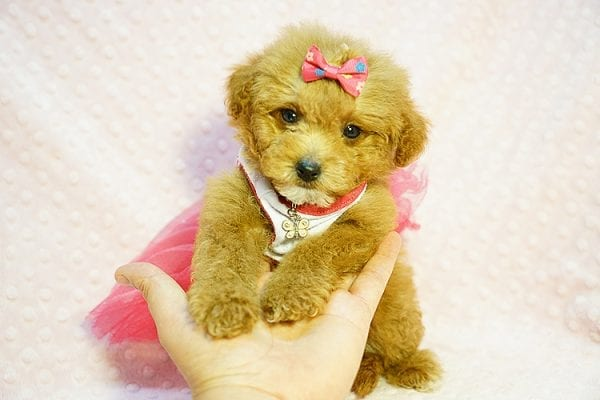 Shirley Temple - Teacup Poodle Puppy Found Her Good Loving Home With Shaghayegh H. In Irvine CA, 92604-23997