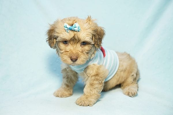 Simba - Toy Malshih Puppy Found His Good Loving Home With Flavio G. in Hollywood CA, 91606-23740
