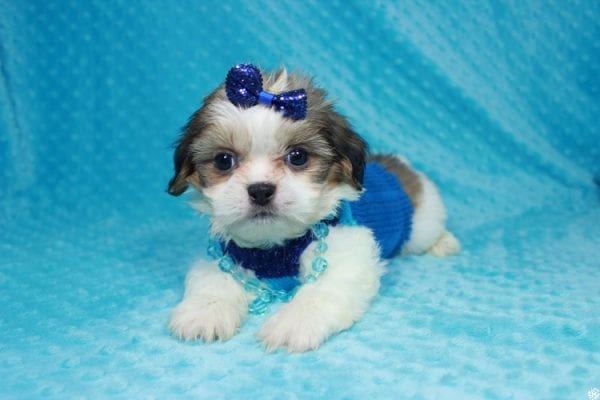 Sylvester - Teacup ShihTzu puppy has found a good loving home with Matthew & Aesha from Las Vegas, NV 89117-24090