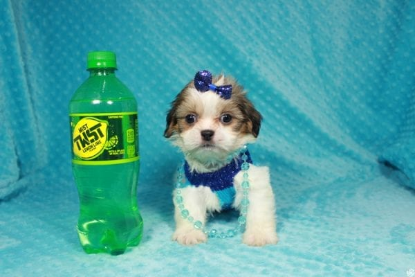 Sylvester - Teacup ShihTzu puppy has found a good loving home with Matthew & Aesha from Las Vegas, NV 89117-24091