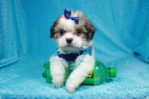 Sylvester - Teacup ShihTzu puppy has found a good loving home with Matthew & Aesha from Las Vegas, NV 89117-24092