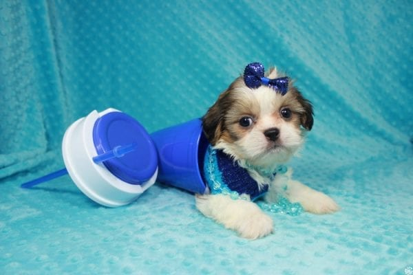 Sylvester - Teacup ShihTzu puppy has found a good loving home with Matthew & Aesha from Las Vegas, NV 89117-24093