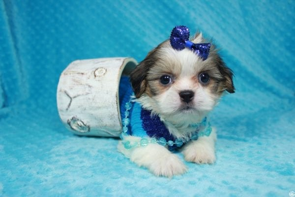 Sylvester - Teacup ShihTzu puppy has found a good loving home with Matthew & Aesha from Las Vegas, NV 89117-0