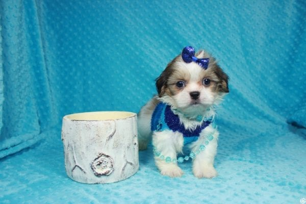 Sylvester - Teacup ShihTzu puppy has found a good loving home with Matthew & Aesha from Las Vegas, NV 89117-24095
