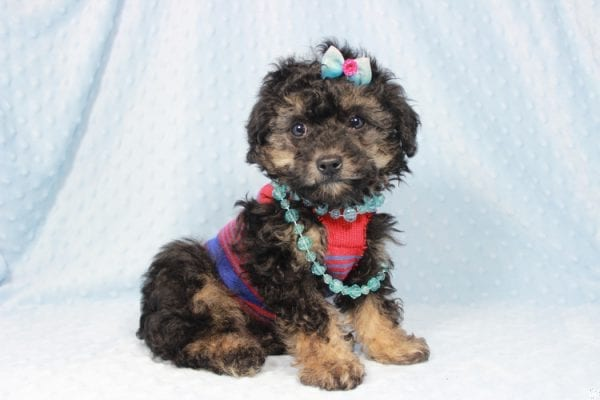 The Golden Knight - Toy Poodle Puppy has found a good loving home with Diane from Pahrump, NV 89040.-23582