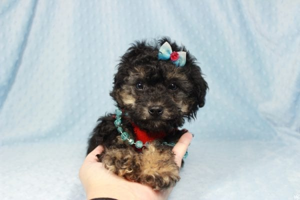 The Golden Knight - Toy Poodle Puppy has found a good loving home with Diane from Pahrump, NV 89040.-23583