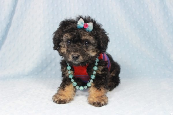 The Golden Knight - Toy Poodle Puppy has found a good loving home with Diane from Pahrump, NV 89040.-23576