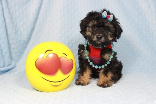 The Golden Knight - Toy Poodle Puppy has found a good loving home with Diane from Pahrump, NV 89040.-23577
