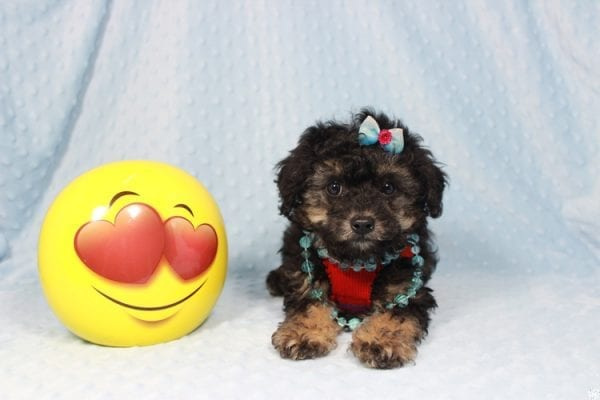 The Golden Knight - Toy Poodle Puppy has found a good loving home with Diane from Pahrump, NV 89040.-23578